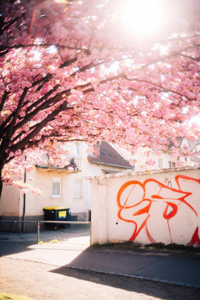 hnxgrafie - Jannik Schramm (Kirschblüten K3 Heilbronn)